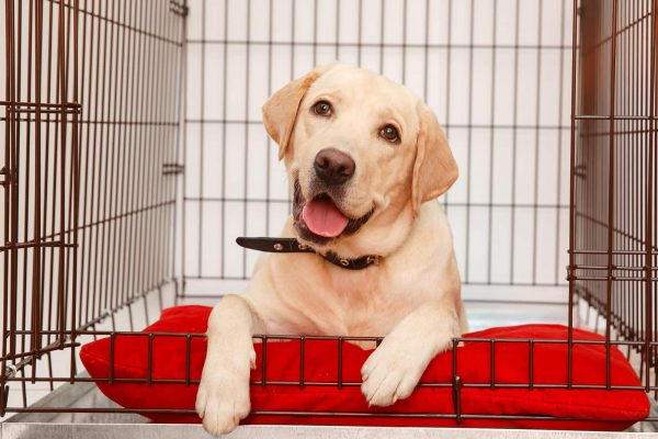 a white labrador inside his crate