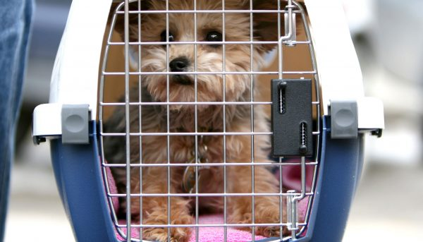 an alert puppy inside a pet cage at the airport